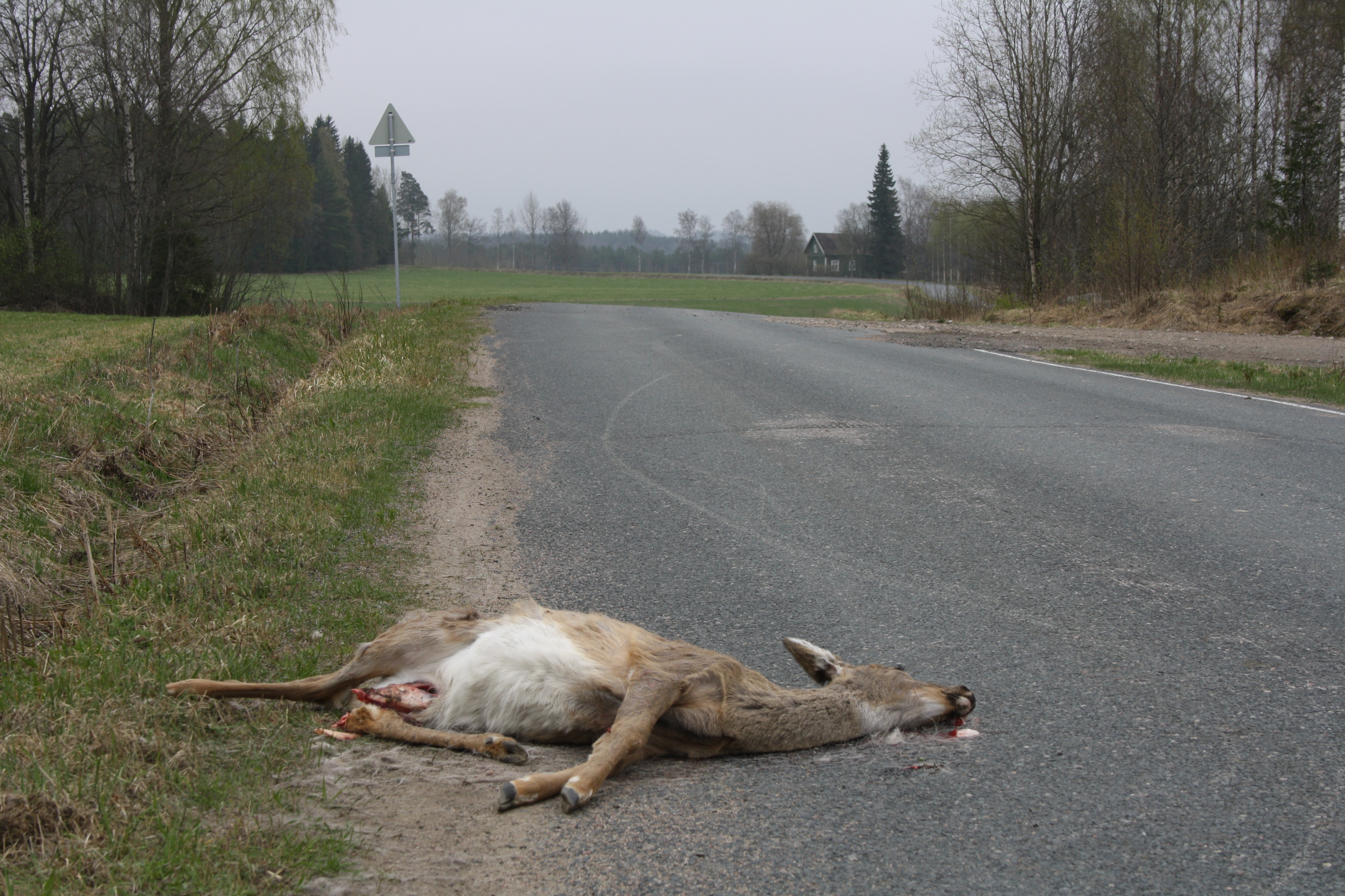 liikenteen-uhri-valkohantapeura_teemu-simenius